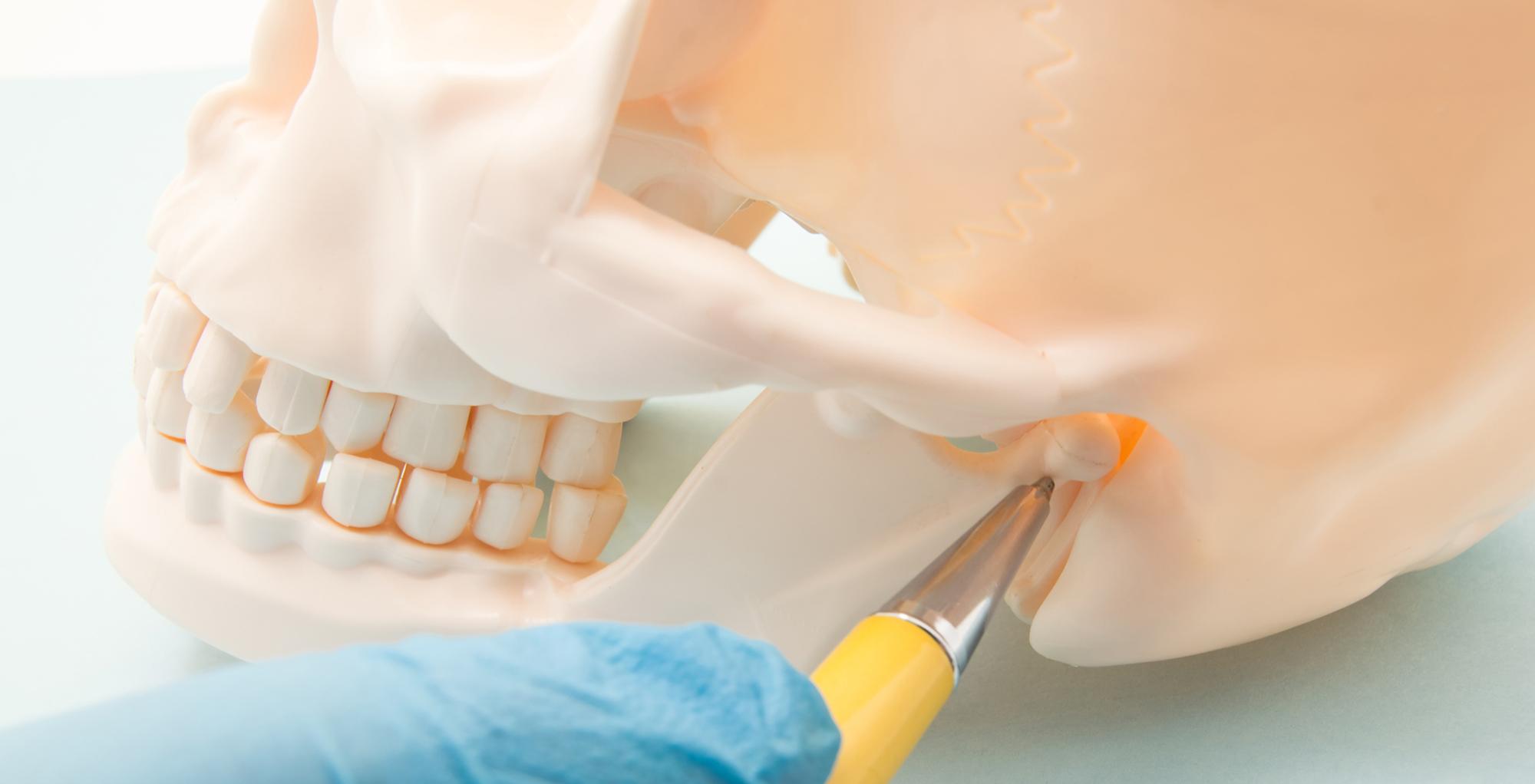 plastic cranium showing TMJ